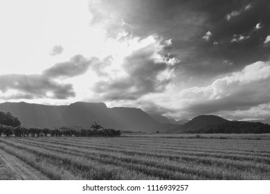 Rice field late afternoon in the Vila Nova neighborhood in Joinville, Santa Catarina - Brazil. Black and White