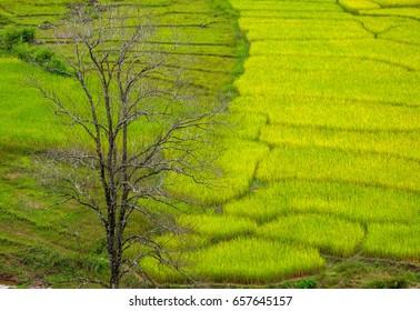 Rice field light green on mountain in THAILAND.
