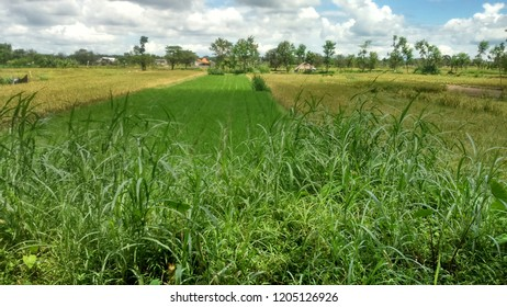 rice field in Local place East Java Indonesia