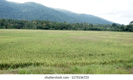 Rice field at Malaysia