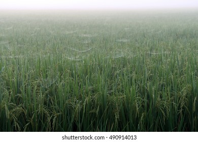 Rice Field in the morning.