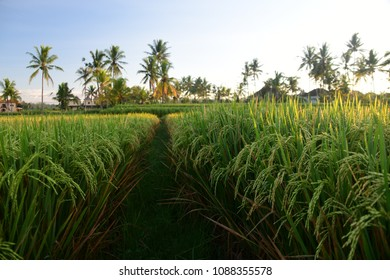 Rice field in the Morning,Bali Indonesia