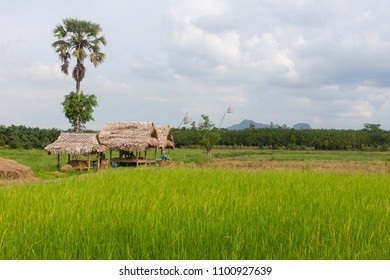 rice field at NaPoKae Rice and farmers learning center Tourist attraction located in Phatthalung , Thailand.