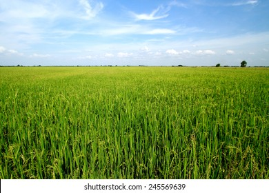 Rice field on blue sky in Thailand
