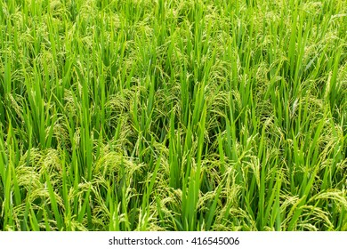 Rice field on the green grass background.