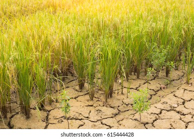 Rice field on natural background, close up