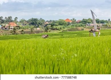 Rice field, palm trees and houses, rural landscape, Canggu, Bali Island, Indonesia