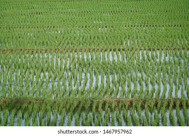 Rice field pettern nature background .