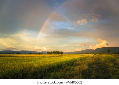 Rice field and rainbow on the sky, countryside of Thailand