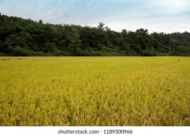 Rice field to ready to harvest