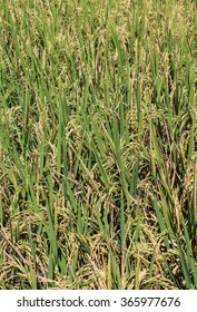 Rice Field Ready for Harvest
