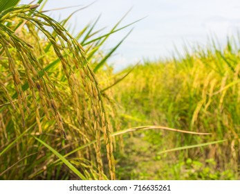Rice field ready to harvest.