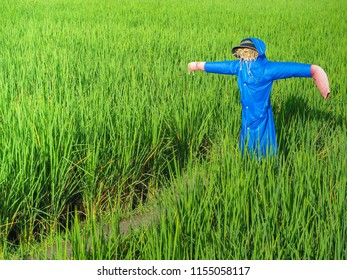 Rice field with scarecrow. Landscape view green tone make a filling fresh.