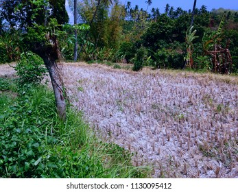 Rice Field Scenery Waiting For The Rice Planting Again