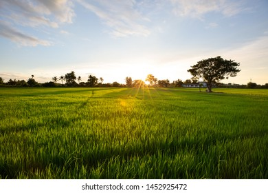 Rice field and sky background at sunset time
