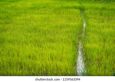 Rice field with small ditch use for background.