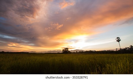 Rice field and sugar palm tree with evening sunlight in Thailand
