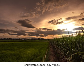 Rice field and sugarcane field. Beautiful view in evening sky cloud  dark mountain and peaceful The field is lush with green rice. Sugarcane growing and ready to harvest to produce to sugar for sold