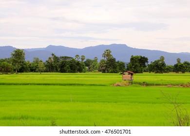Rice field at Sukhothai , Thailand