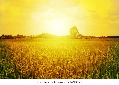 rice field sunlight nature background