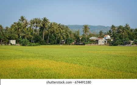 Rice field at sunny day in Mekong Delta, Vietnam. The Mekong Delta is a rich, lush area, where the mighty Mekong River stretches out to the sea.