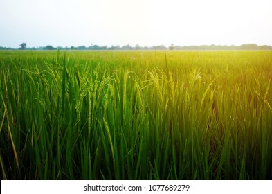 Rice field in sunrise time for background.