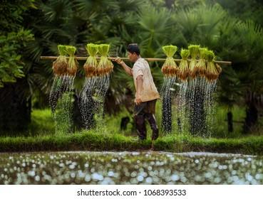 rice field sunset time,The Farmer planting on the organic paddy rice farmland,Thailand