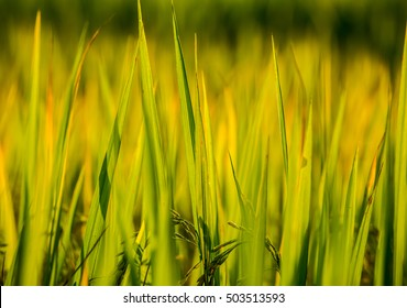 rice field and sunshine for background