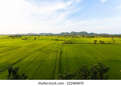 Rice Field in thailand green background