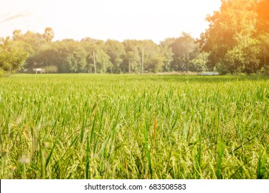 Rice field in Thailand with a warm tone of sunlight