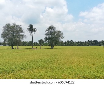 Rice field in Thailand.Summer landscape with green grass, corn, tree and clouds