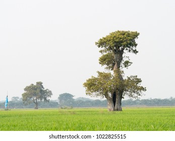 Rice Field, tree in Thailand