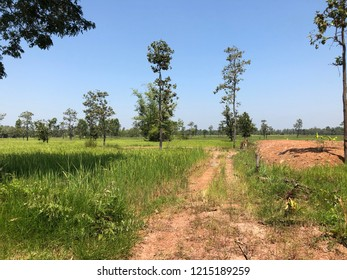 The Rice field variety Riceberrry and Red Hom Mali. environment and  plantation of rice in Thailand