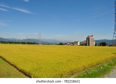 rice field waits harvest