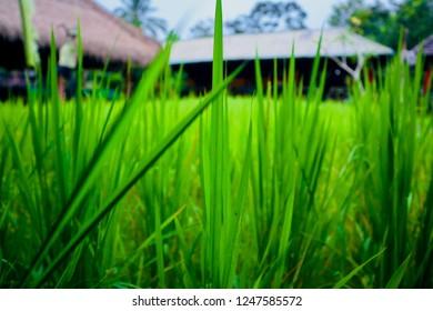 Rice Field Warung- UBUD, Indonesia