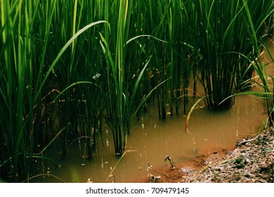 Rice field In the water. Select focus