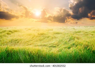 Rice field with wind at sunset.