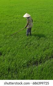 Rice field worker