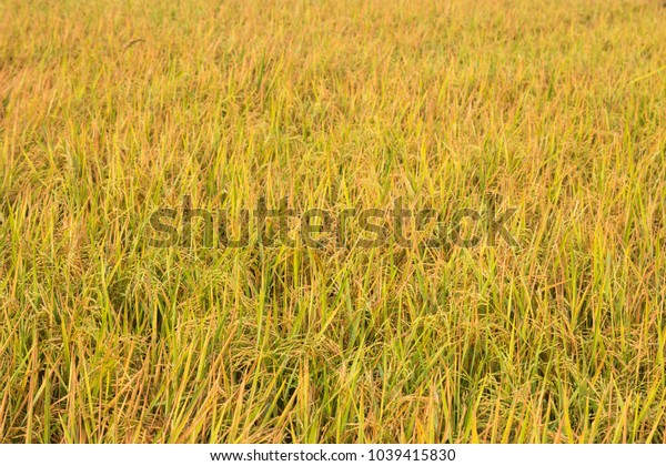 Rice field with yellow rice