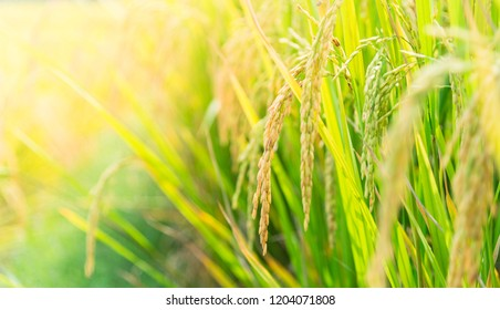 Rice field,Paddy rice with sun light at Thailand.,Nature background concept.