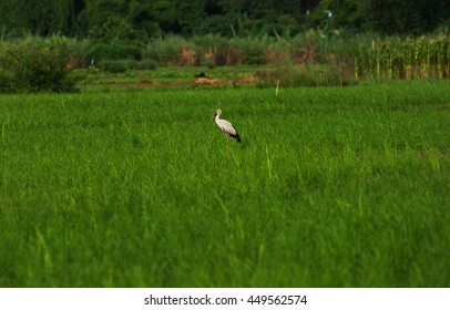 Rice fields with birds