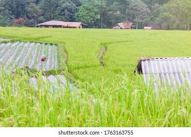 Rice fields are blooming in Thailand