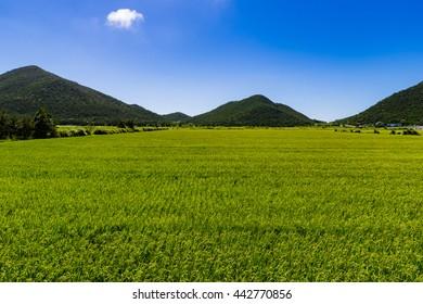 Rice fields, blue sky, landscape. Okinawa, Japan, Asia.