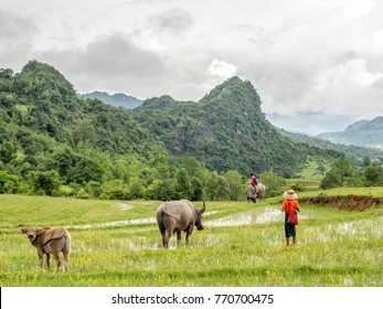 Rice Fields with buffalos and kids