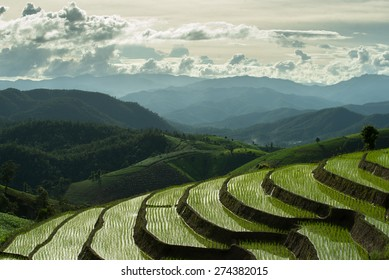 Rice fields in Chiang Mai ,Thailand
