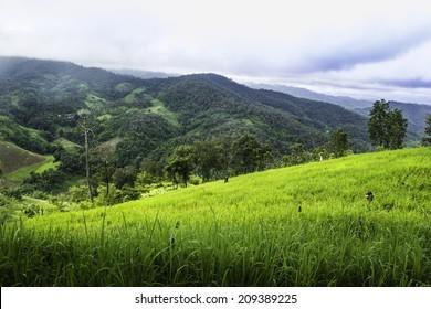 Rice Fields, Chiangmai, North Thailand.