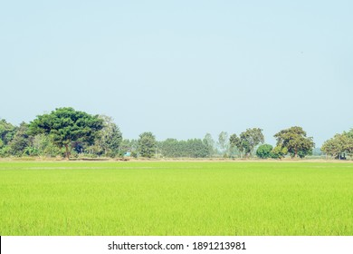 Rice fields and clear sky Ready for you to add text as you like