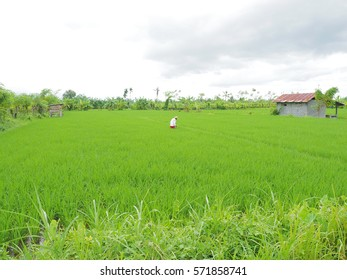 rice fields with a cloudy background