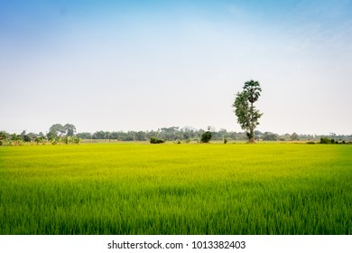 The rice fields in the countryside of Supanburi province are standing for harvest.