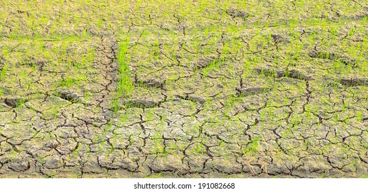 rice fields and Cracked ground